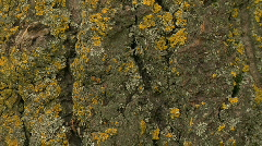 Lichen covered tree trunk bark close-up then pull back Stock Footage