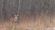 Stock Video Footage of Whitetail Deer Buck