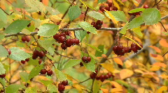 Red berries in golden bush leaves slow zoom out reveals autumn forest view2 Stock Footage