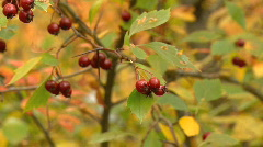 Red berries in golden bush leaves slow zoom out reveals autumn forest Stock Footage