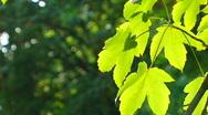 Sunny maple Stock Footage