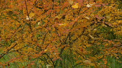 Red orange golden leafy black berry bush zoom out to forest Stock Footage