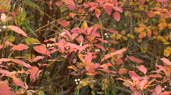 Red orange golden leaves white berries zoom out and zoom in Stock Footage