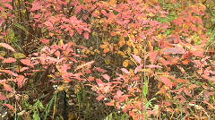 Red orange leafy bush with white berries slow pan tracking Stock Footage