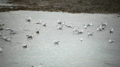 Seagull flock on water Stock Footage