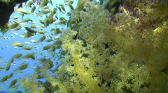 Soft coral and tropical fish Stock Footage