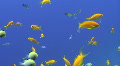 Lyretail anthias HD Footage