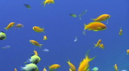 Stock Video Footage of Tropical fish with blue background