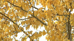Dancing golden autumn leaves fluttering in light windy breeze on poplar branc Stock Footage