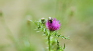 Stock Video Footage of A Bug Pollinating Thistle