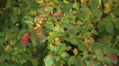 Green gold yellow red orange black leaves berries windy zoom out then zoom in Stock Footage