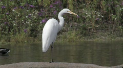 Great White Egret Preenin Stock Footage