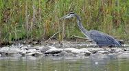 Stock Video Footage of Blue Heron catching a fish.mp4