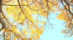 Rotation thru poplar golden leaves canopy bright blue sky seemless loop Stock Footage