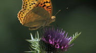 Stock Video Footage of A Butterfly Landing On Thistle