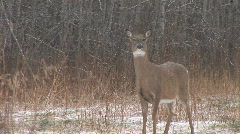 Whitetail Deer  Snort Stock Footage