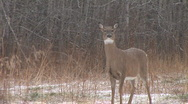 Stock Video Footage of Whitetail Deer  Snort