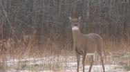 Stock Video Footage of Whitetail Deer  Snort