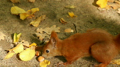 Squirrel Eating - stock footage