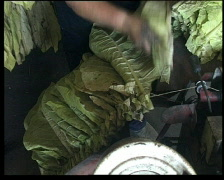 Stringing tobacco Stock Footage