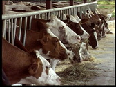 Cow farm Stock Footage