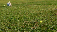 Dogs Run After Ball Stock Footage