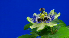 Time-lapse of closing passiflora 4a against blue background Stock Footage
