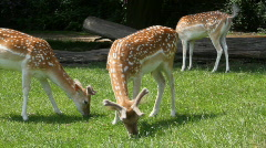 Young Deer (fawns) eating grass Stock Footage