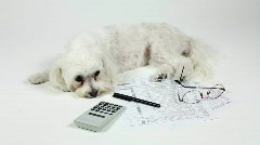 Tax Time Blues Stresses Working Class Dog Stock Footage