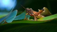 Southeastern Lubber Grasshopper on leaf Stock Footage