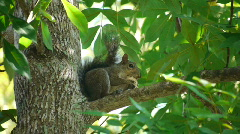 A Squirrel with a Hickory Nut Stock Footage