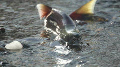 Salmon, spawning, underwater Stock Footage