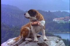 Bariloche, Argentina, Saint Bernard dog, on rock, barrel around neck - stock footage