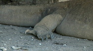 Stock Video Footage of Komodo Dragon 4