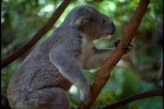 Koala, medium close up climbing Stock Footage