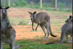Kangaroo, medium shot, hopping Stock Footage
