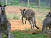 Kangaroo, medium shot, hopping Stock Footage