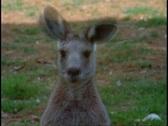 Australia, Kangaroo, close up face Stock Footage
