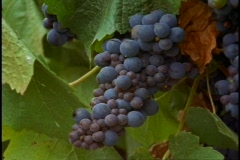 Australia, Victoria wine country vineyards, close up grapes Stock Footage