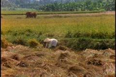 Vietnam, Rice fields, harvesting, golden green, medium close-up Stock Footage