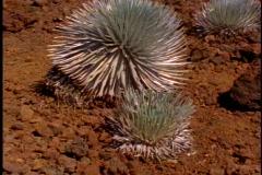 Silversword plant, medium close up, tilt up, on Maui in Hawaii Stock Footage