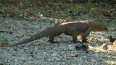 Komodo Dragon 3 Stock Footage