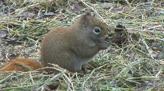 Red Squirrel Canada Stock Footage
