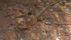 UT ANP Lizard1 Stock Footage