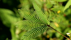 Stock Video Footage of sensitive mimosa pudica leaf