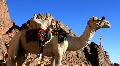 Camel. Mount Sinai. Egypt Footage