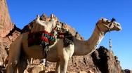 Camel. Mount Sinai. Egypt Stock Footage