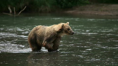 Brown bear.  fisher Stock Footage