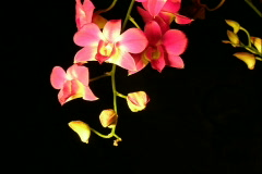Dendrobium red2 Stock Footage