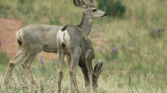 Two young deer grazing in a field Stock Footage